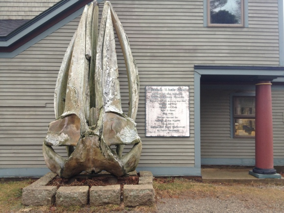 The Whale Skull (a fin whale) at College of the Atlantic.